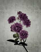 oeillet_bengale_still-life-3